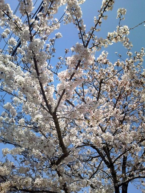 桜をパチッとな♪